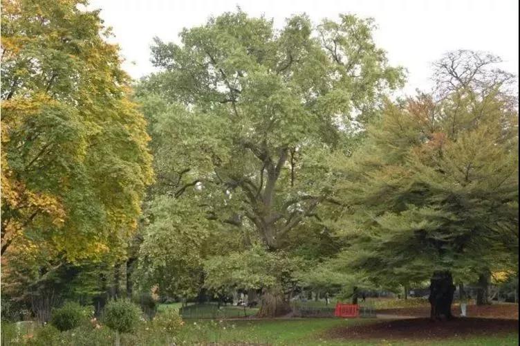 你知道巴黎直径最大的两百年树精在哪里?
