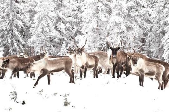 佩罗-驯鹿农场-吕勒奥