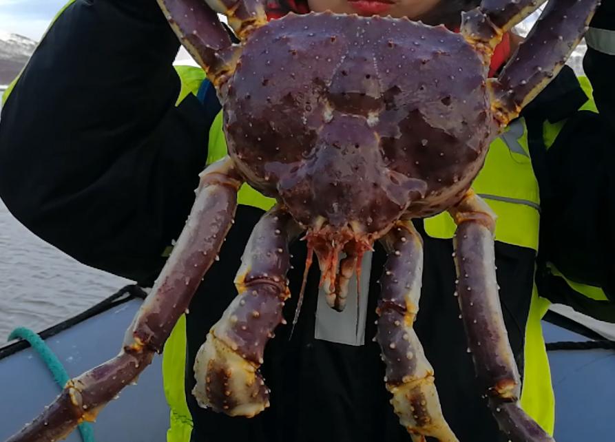 希尔克内斯-列维 丨北冰洋帝王蟹捕猎,品尝帝王蟹饕餮大餐